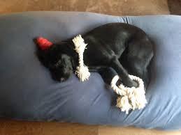 鬼は…ラブラドールレトリバーの子犬