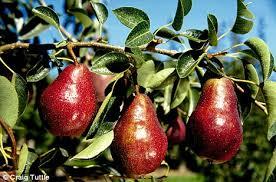 Go And Bear Fruit CatholicFamily Missions CompanyDo All Pear Trees Bear Fruit
