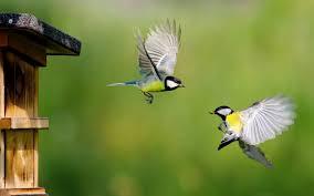 Eurasian Blue Tit Birds In Flight Hd ...