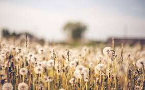 nature backgrounds tumblr. Dandelion Field Nature Backgrounds Tumblr