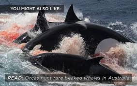 killer whale attacks on humans. With Killer Whale Attacks On Humans