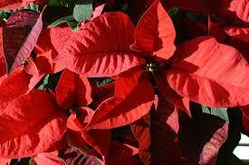 Blickfang Weihnachtsstern Fautz Die Gärten Unser Blog
