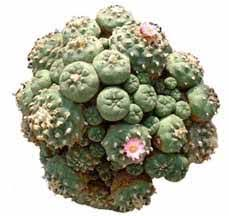 Native Americans use peyote in ancient prayer ceremonies