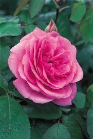 Top 10 Fragrant Roses For Your GardenFragrant Rose Plants