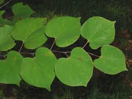 Image result for Cercis sp. leaves