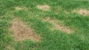 Brown Patch Disease How To Banish Brown Patches On Your Lawn