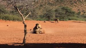 Intense fight between two male lions at Tswalu YouTube