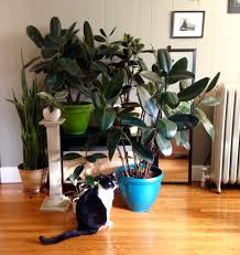 10 of 10 rubber trees and 1 of 2 cats.