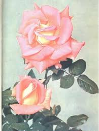 theory practice of pruning hybrid musk roses from seed commercial roses under glass rose gardening w bacteria perpetual flowering shrub roses rose