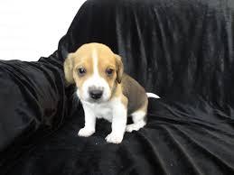 pocket beagle puppies cleveland ohio