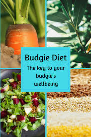 Budgie Diet The Key To Your Budgies Well Being