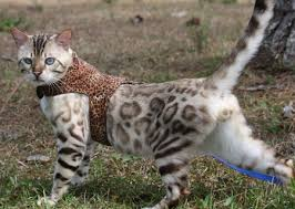 snow bengal cat. Wonderful Snow Snow Bengal Charcoal Seal Lynx Point Mink  Sepia Intended Snow Bengal Cat