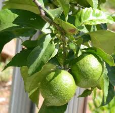 How long for limes to mature