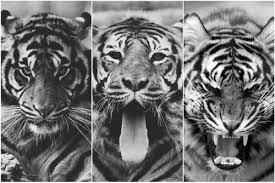 tiger roar tumblr. Plain Tumblr Tiger Animal And Black White Image Throughout Tiger Roar Tumblr