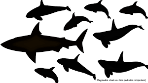 megalodon shark compared to killer whale. Perfect Whale Now Letu0027s Move On To Everyoneu0027s Favorite Topic When It Comes Such  Things Weaponry The Megalodon Sharksu0027 Jaws Were Designed Bite With Enormous Power  Intended Shark Compared To Killer Whale R