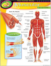 Learn more about the composition, form, and physical adaptations of the human body. Amazon Com Trend Enterprises Inc The Human Body Muscular System Learning Chart 17 X 22 Office Products