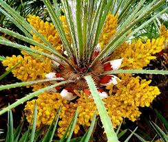 Image result for bunga pohon kelapa