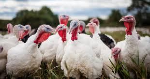 Raising Turkeys The Poultry Site