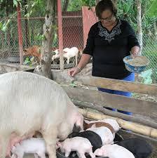 Precio Granja De Cerdos Engorde