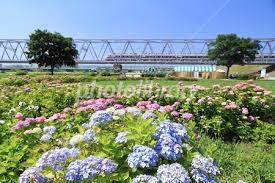 あじさい 京成電車 写真素材 [ 3164567 ] - フォトライブラリー photolibrary