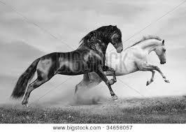 running horses black and white. Modren White Bay  For Running Horses Black And White P