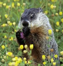 how to keep groundhogs out of my garden. Unique Keep Use These Tips To Keep Groundhogs Out Of Your Garden Photo Courtesy Tom  BrakefieldStockbyteThinkstock HobbyFarmscom Throughout How To Keep Groundhogs Out Of My Garden T