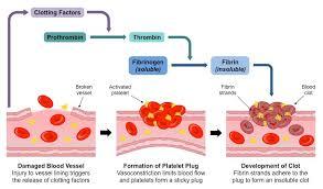 Coagulation Of Blood Flow Chart Clotting Bioninja