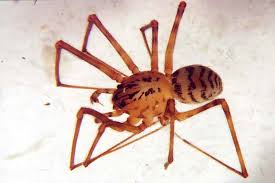 Identifying And Misidentifying The Brown Recluse Spider