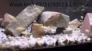 10 African Cichlid Mbuna Fry Evolution Series Growth Over