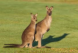 new doentary exposes australia s dirty secret kangaroos killed by the millions each year