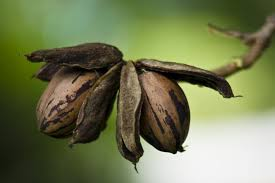 Image result for pecan trees free images