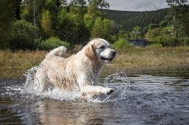 <b>Golden Retriever</b> Dog Breed Information
