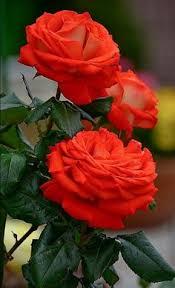 Image result for image of rose flower