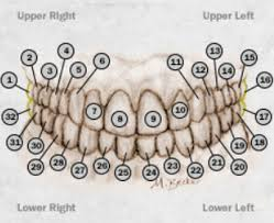 Teeth Numbers Chart Usa How Are Teeth Numbered And Teeth Numbering Charts 2019