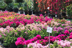 casaplanta miami garden center blog bougainvillea miami