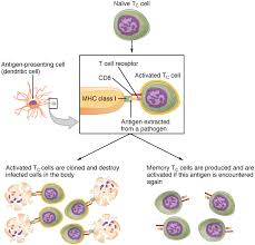 21 3 The Adaptive Immune Response T Lymphocytes And Their
