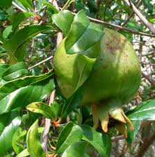 GooseberryjpgJamaican Fruit Trees
