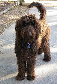 the attractiveness and pority of these designer cross breeds pups cannot be disputed vetstreet writer kristen seymour lists the goldendoodle as