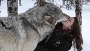 kekoa the giant timber wolf plays with wildlife worker and even licks her face daily mail