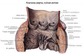 Приобретенные пороки сердца реферат ⋆ Лечение Сердца Клапаны сердца анатомия