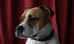best pitbull names ideas for your new dogs