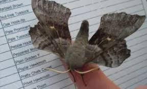 Moth Identification Chart Citizen Scientists Get To Grips With Moth Survey Bbc News