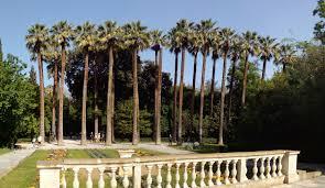 file washingtonia filifera in the national garden athens Ουασινγκτονίες jpg