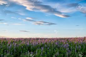 Flower field sunset Summer Dramatic Skies Over Lupine Flower Field In Iceland At Sunset In Summer Stock Photo 123rfcom Dramatic Skies Over Lupine Flower Field In Iceland At Sunset