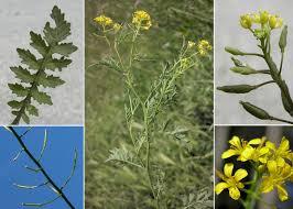 Rorippa sylvestris (L.) Besser subsp. sylvestris - Portale sulla flora ...
