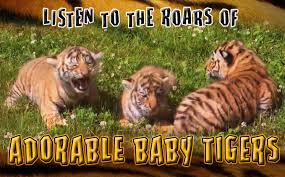 baby tigers 5 week old amur tiger cubs play and try to roar