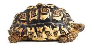Russian Tortoise Age Size Chart A Guide To Caring For Leopard Tortoises As Pets