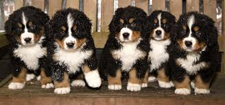 bernese mountain dog puppies. Exellent Dog Bernese Mountain Dog In Puppies U
