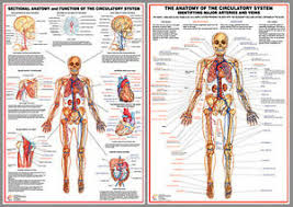 Details About Circulatory System Anatomy Professional Fitness Wall Charts 2 Poster Set