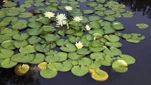 Plant And Animals Adaptations Venn Diagram Water Lily Adaptations Sciencing